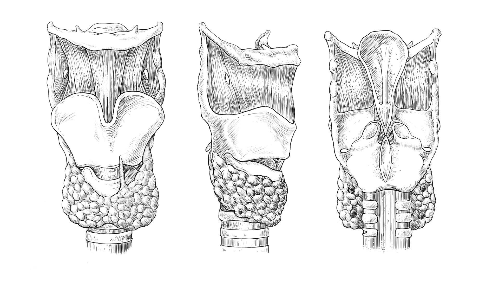 Larynx Thyroid and Trachea Illustration